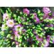 Lisianthus rose - France Fleurs
