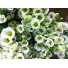 Lisianthus blanc - France Fleurs