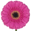 Germini fushia (10 tiges) - Livraison fleurs coupées - France Fleurs