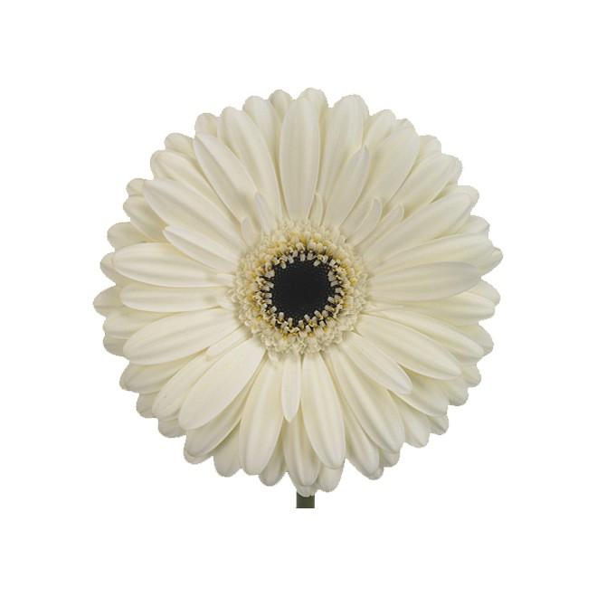Germini blanc (10 tiges) - livraison fleurs en gros - France Fleurs