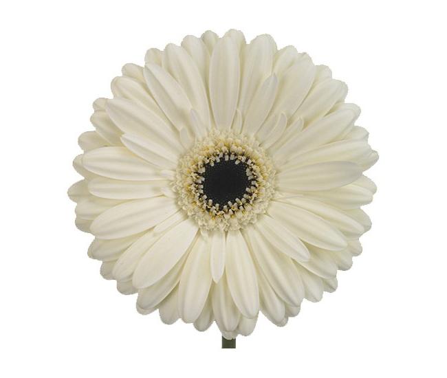 Germini blanc livraison fleurs coup es france fleurs for France fleurs