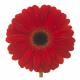 Germini rouge (10 tiges) - fleurs coupées - France Fleurs