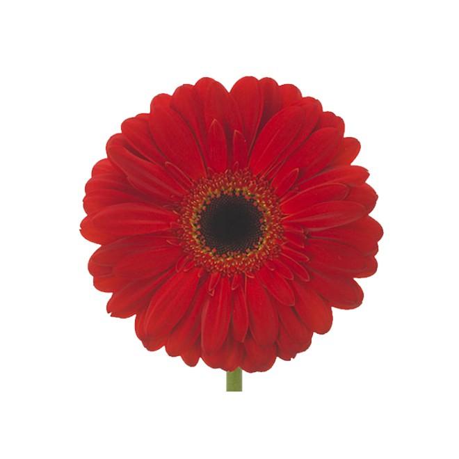 Germini rouge livraison fleurs coup es france fleurs for France fleurs