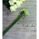 Botte d'ornithogalum (10 tiges) - France Fleurs