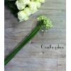 Ornithogalum (10 tiges) - France Fleurs