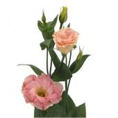 Lisianthus rose (10 tiges)