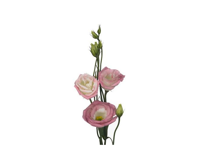 Fleur de lisianthus rose livraison fleur coup e mariage - Quand couper les fleurs fanees des hortensias ...