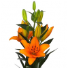 Lys asiatique orange - livraison lys pas chers - France Fleurs
