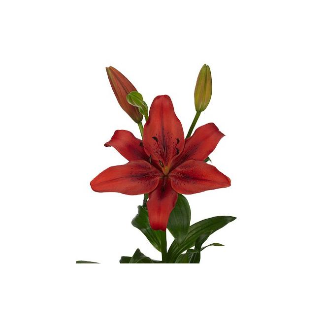 Lys asiatique pas cher livraison fleur coup e france for Fleurs pas cher livraison