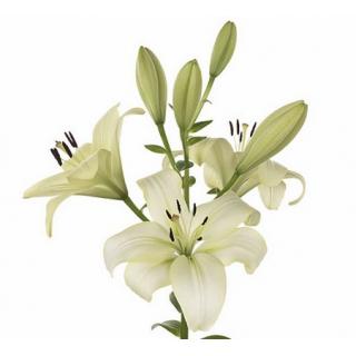 Lys asiatique blanc - fleurs mariage - France Fleurs