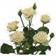 Rose branchue blanche -  fleurs mariage - France Fleurs