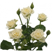 Rose branchue blanche (10 tiges)