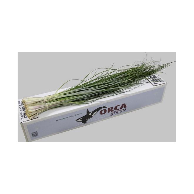 Beargrass - feuillages à la botte - France Fleurs