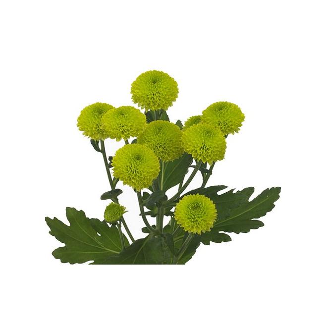 Santini vert livraison de fleurs coup es france fleurs - Grossiste fleurs coupees pour particulier ...