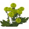 Santini vert - fleur pompon vert - France Fleurs