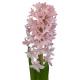 Jacinthe - livraison fleurs pas chères - France Fleurs