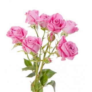 Rose branchue rose - rose ramifiée - France Fleurs