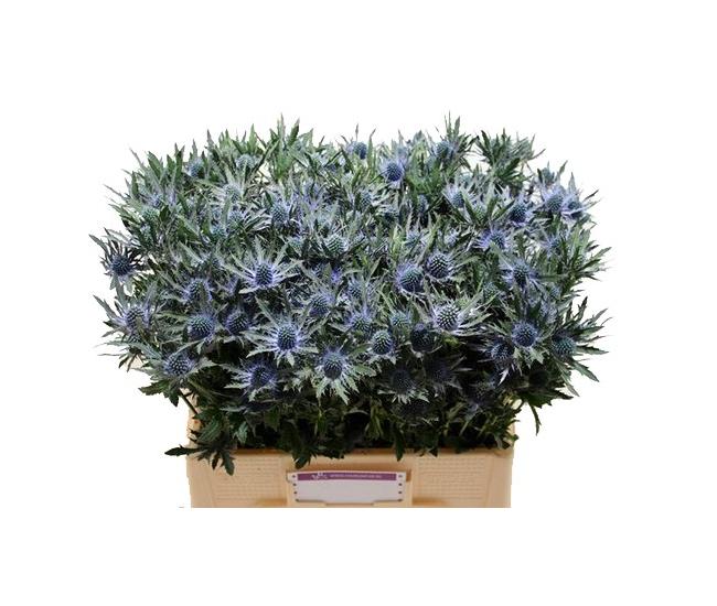 Chardon bleu livraison fleurs coup es france fleurs for France fleurs