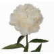 Pivoine blanche (10 tiges)