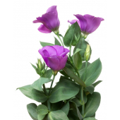 Lisianthus violet (10 tiges)
