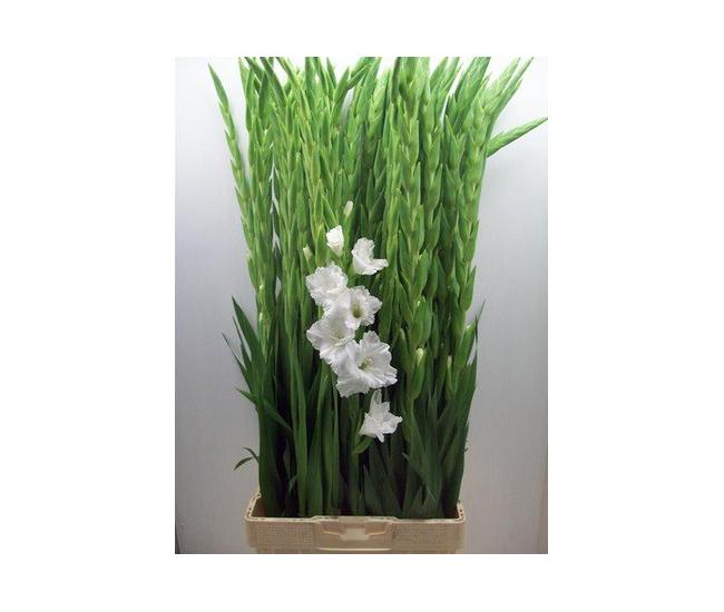 Très Glaïeul blanc - fleur coupée mariage - France Fleurs NK12