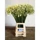 Agapanthe blanche - France Fleurs