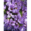 Freesia violet (10 tiges) - France Fleurs