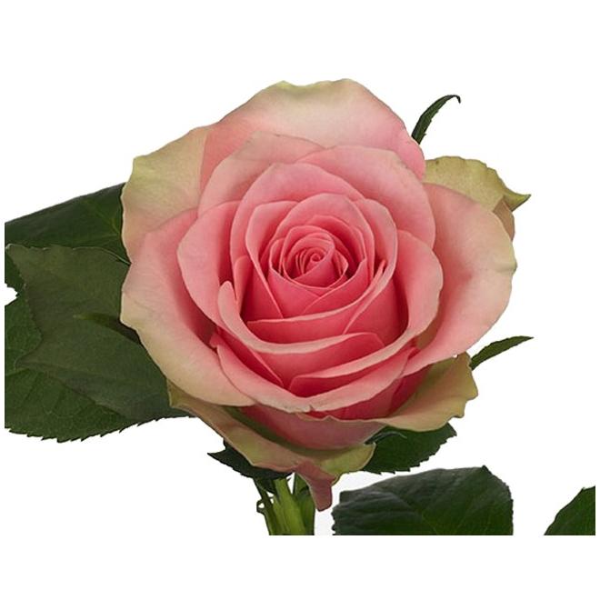 Rose la belle livraison de roses roses france fleurs for Livraison rose