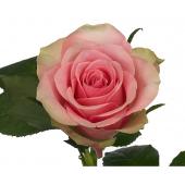Rose La Belle (20 tiges)