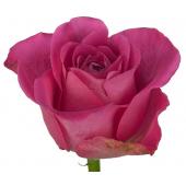 Rose Taiga (20 tiges)