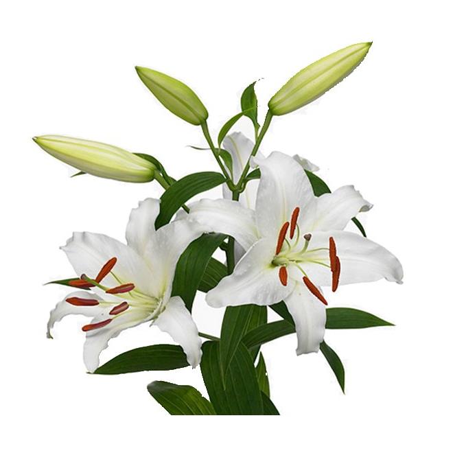 Lys oriental blanc livraison fleur mariage france fleurs - Grossiste fleurs coupees pour particulier ...
