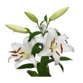Lys oriental blanc (1m x 10 tiges)