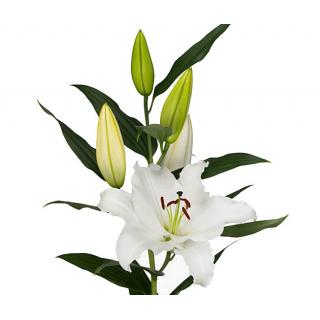 Lys oriental blanc (80cmx10tiges)