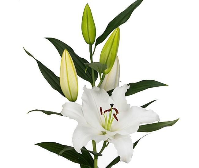 lys oriental pas cher livraison fleur france fleurs. Black Bedroom Furniture Sets. Home Design Ideas