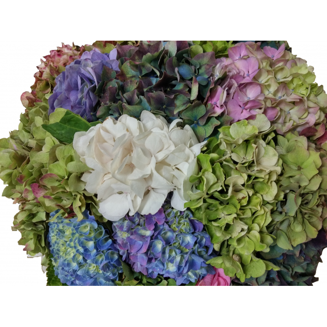 Hortensias variés (5 tiges)