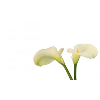 Arum 5 tiges - Fleurs coupees en gros pour particulier ...