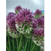 Allium (5 tiges)