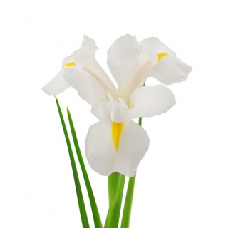 Iris blanc (10 tiges)