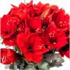 Bouquet Amaryllis 2