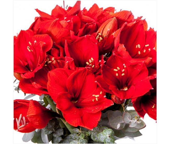 Bouquet d 39 amaryllis livraison fleurs no l france fleurs for Amaryllis en bouquet