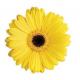 Gerbera jaune (15 tiges)