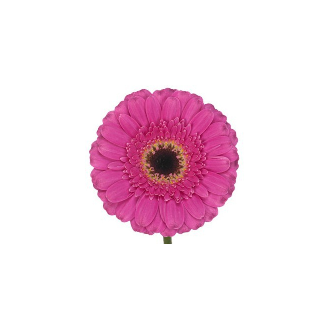 Gerbera rose fushia (15 tiges)