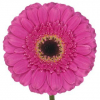 Gerbera rose fushia (25 tiges)