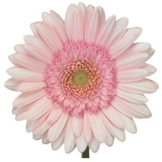 Gerbera rose pâle (15 tiges)