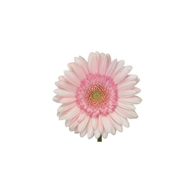 Gerbera rose pâle (15 tiges)