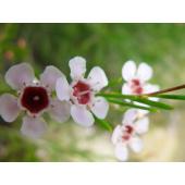 Wax Flower (5 tiges)