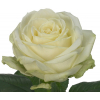 Rose Avalanche 40cm (20 tiges) - Rose Ivoire