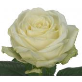 Rose Avalanche 50cm (20 tiges)