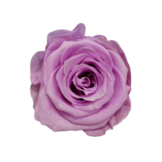 6 roses éternelles parmes