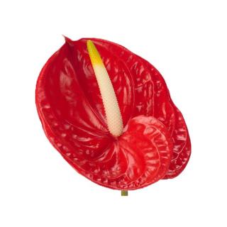 Fleur d'anthurium rouge - France Fleurs